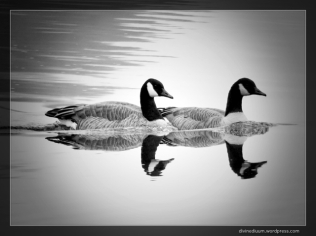 Alouette Lake, British Columbia (Canadian Geese)