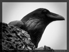 Alouette Lake, British Columbia (Common Raven)
