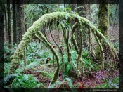 Alouette Valley Trail, Golden Ears (Moss)